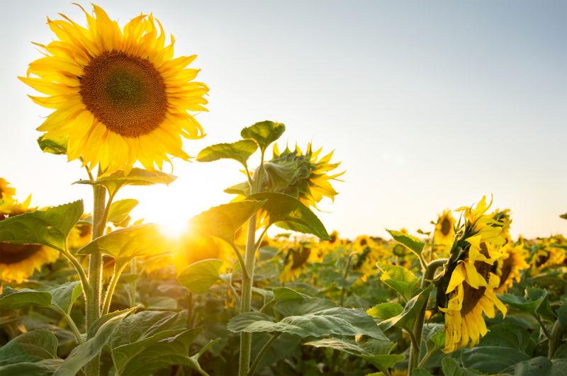 تماشا کنید: چرا گل آفتاب گردان همواره روی به خورشید دارد؟